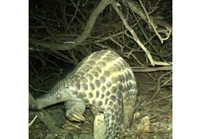 The footage was captured by 70 motion-sensor trail cameras installed by the zoo's team at Uganda's Ziwa sanctuary, in east Africa.