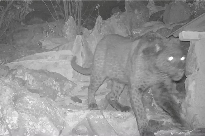 Camera traps have captured rare footage of a melanistic leopard, otherwise known as black panther, in Kenya, say scientists from the San Diego Zoo.