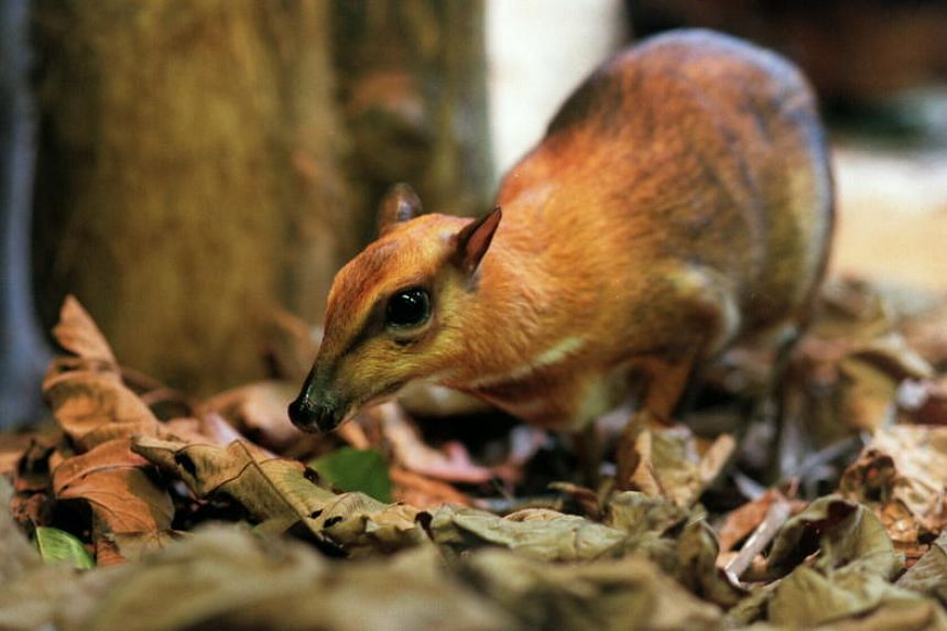Local folklore has used Sang Kancil to tell of the exploits of the small but intelligent mouse deer which relies on wits to overcome challenges.
