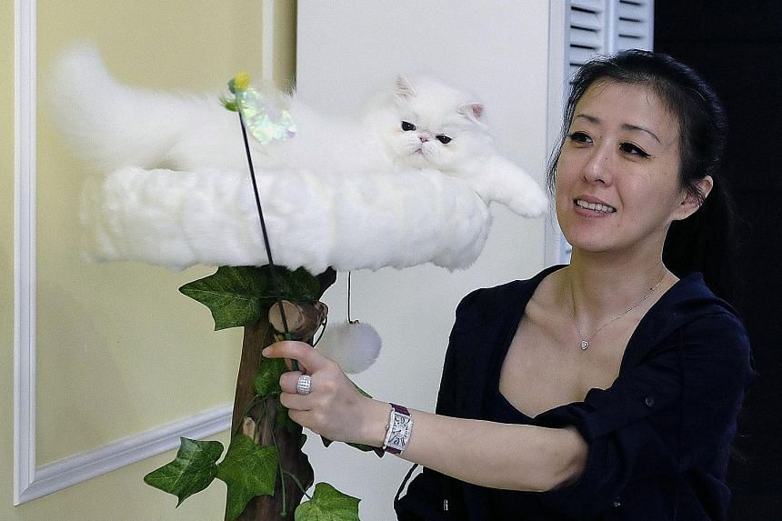 Taiwanese cat breeder Chang Chin-yi plays with one of the many persian cats she owns. A Hong Kong woman allegedly stole two persian kittens from Ms Chang's flat and smuggled the cats under her clothes through Taiwan's airport to Hong Kong.