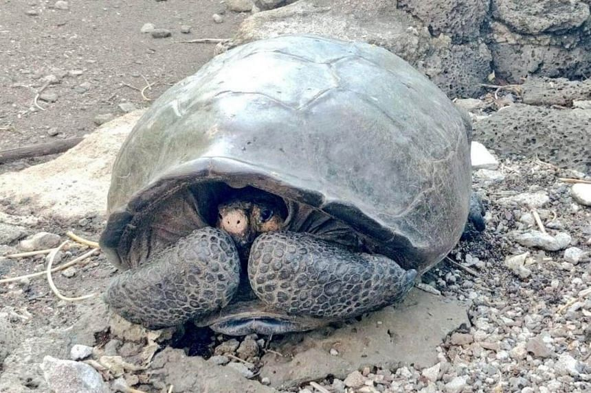 An adult female specimen of the Chelonoidis phantasticus species was found by an expedition led by the Galapagos Parks authority and the Galapagos Conservancy group.