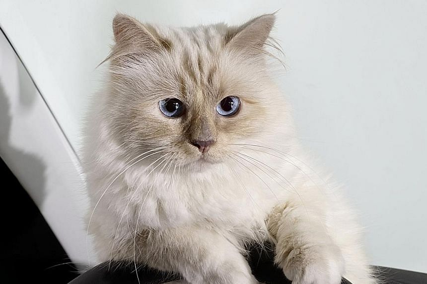 Designer Karl Lagerfeld's Choupette is a star in her own right, with about 180,000 Instagram followers and appearing in ads as well as German carmaker Opel's calendar in 2015.
