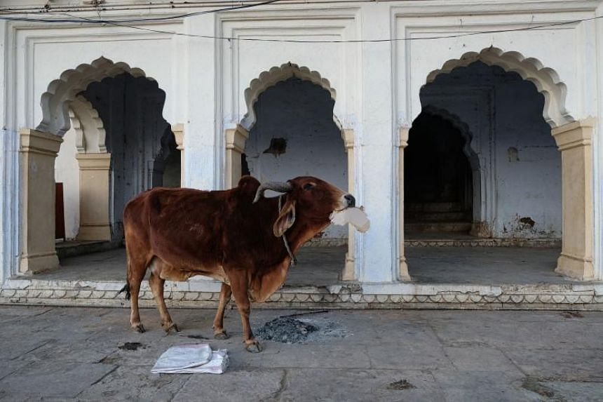 An Indian cow eats cardboard in Pushkar in the western state of Rajasthan on Dec 31, 2018.