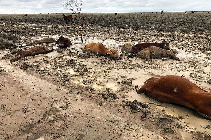 Cattle in a flooded area near Julia Creek township in Queensland earlier this month. Heavy rain in recent weeks has led to herds being washed away and paddocks losing almost their entire stock. The full impact of the flooding is yet to be determined,