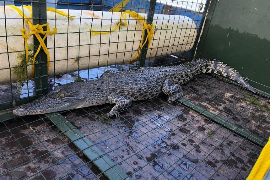 PUB said that the reptile is an Estuarine crocodile and is about 1.7m long. It has since been relocated into the wild.