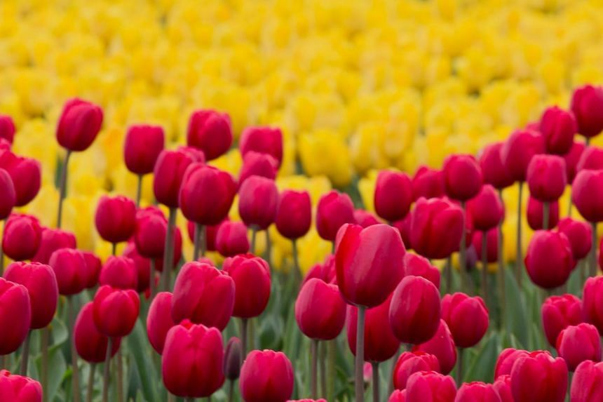 Nina Harris told her husband Allan that she wanted tulips to be planted in their yard.