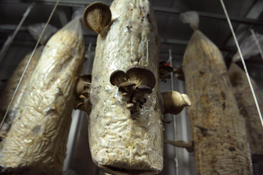 Mushrooms of the company UpCycle are grow in bags filled with coffee grounds, at the Aigrefoin farm in Saint-Remy-les-Chevreuse, near Paris.
