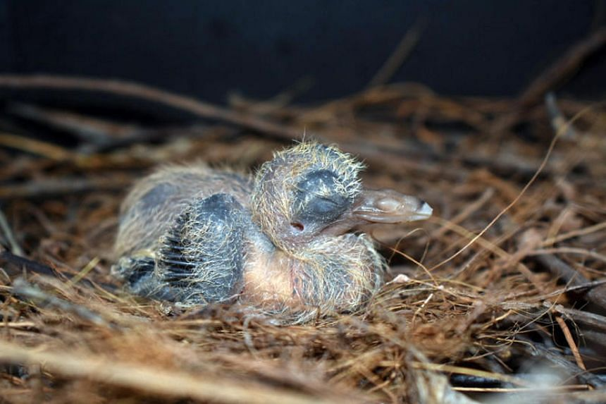 The first Santa Cruz ground dove successfully bred under human care hatched in Jurong Bird Park on Dec 31, 2018.
