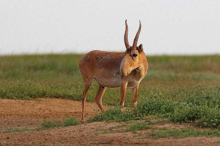 Above: A saiga in the Stepnoi Reserve in Russia. Mongolia, Russia, Kazakhstan, Uzbekistan and Turkmenistan signed an agreement in 2006 to work together for the conservation of the critically endangered species of antelope. Anti-clockwise from left: S