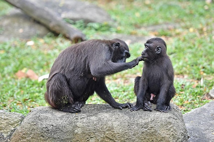 Agung, a Celebes crested macaque, being groomed by his mother. He is the first such macaque to be born at the zoo in seven years. A world-first breeding of Santa Cruz ground-doves in human care. The first chick was hatched at Jurong Bird Park on Dec