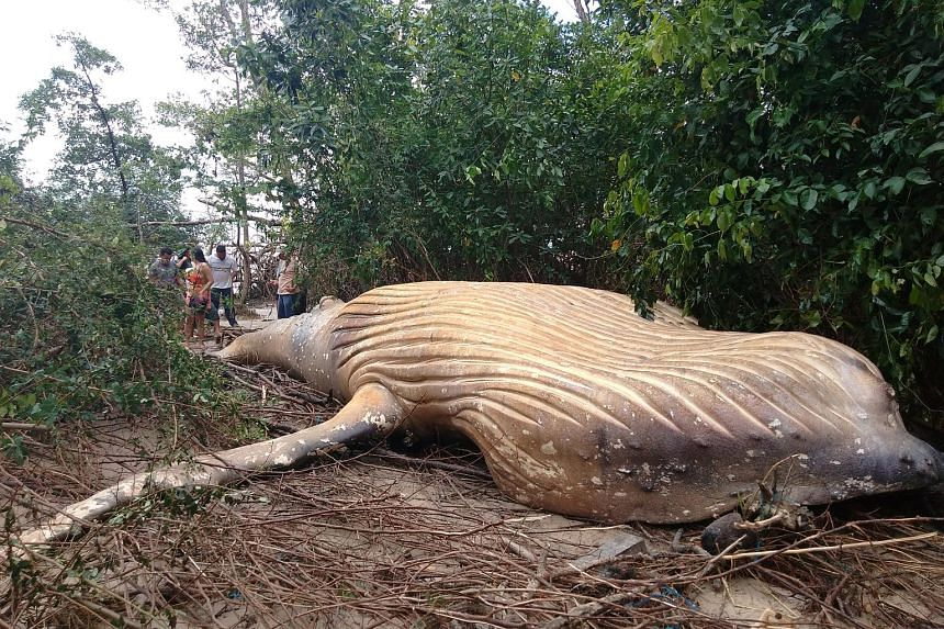 Biologists from the NGO Bicho D'agua check a humpback whale, that was found dead inside a mangrove in Ilha do Marajo, Para state, Brazil, on Feb 23, 2019.