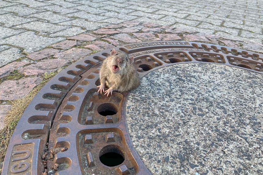 A chubby rat was wedged in one of the small holes of a manhole cover in Bensheim, Germany.