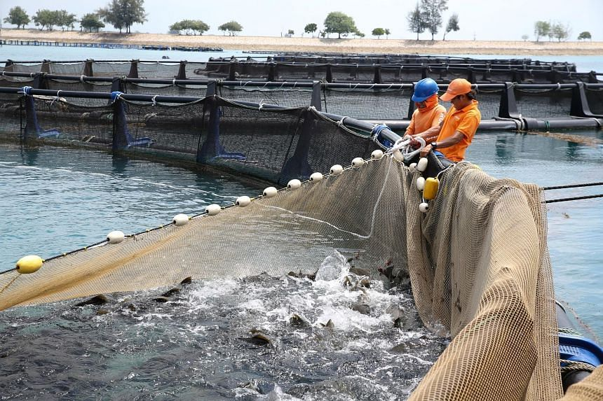 Workers at Barramundi Asia's sea cage farm harvesting barramundi. With the $2 million extension to its nursery on Pulau Semakau, the farm expects its fish production to rise threefold, bringing its expected yield to 6,000 tonnes of fish yearly - more