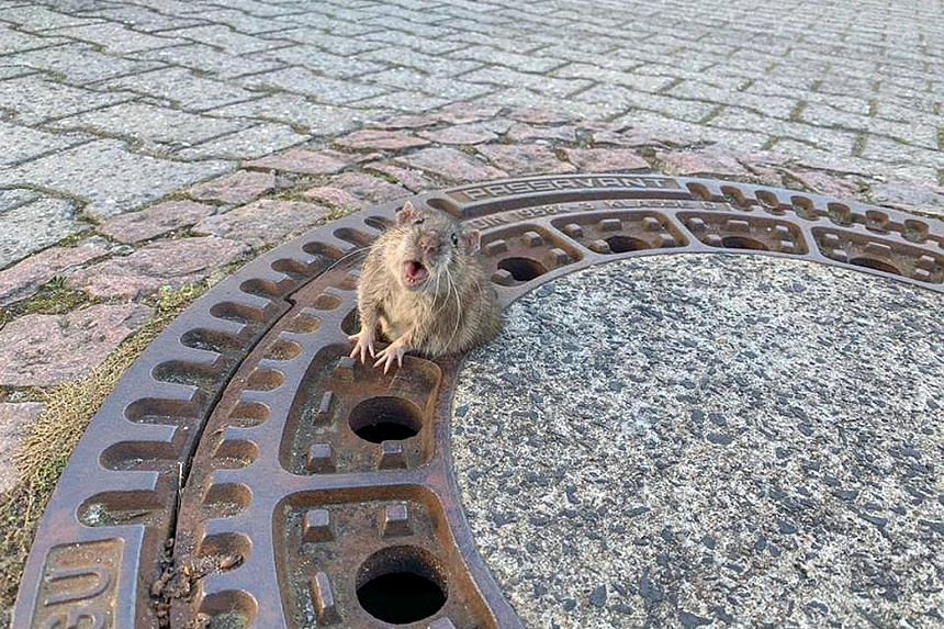 Screenshots from social media showing firefighters working to free a rat stuck in a manhole cover in Bensheim-Auerbach, Germany, on Sunday. The chunky animal (above) is shown flailing its arms and squeaking in distress. A close-up photo showing the r