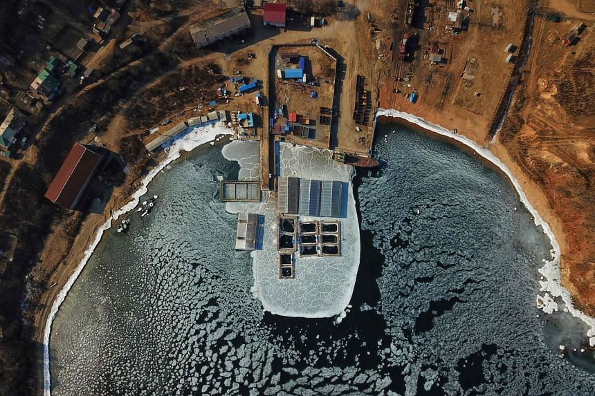 An aerial view taken on Jan 22, 2019, shows captured marine mammals in enclosures at a holding facility in Nakhodka.