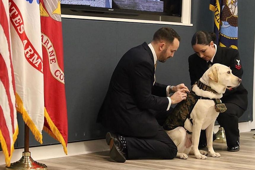 """Sully H. W. Bush being fitted with a """"military uniform"""", a vest he will wear at work, after he took an oath to serve on Wednesday. Sully was former president George H. W. Bush's companion in the final stages of his life. He will bring cheer to disabl"""