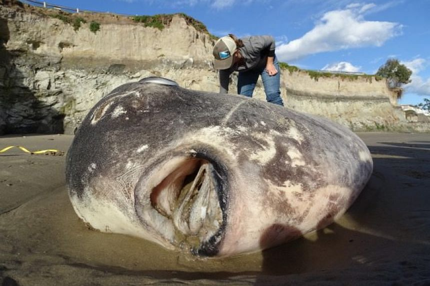 The hoodwinker sunfish discovered on a Southern California beach was the first record of the species observed in the northern hemisphere.