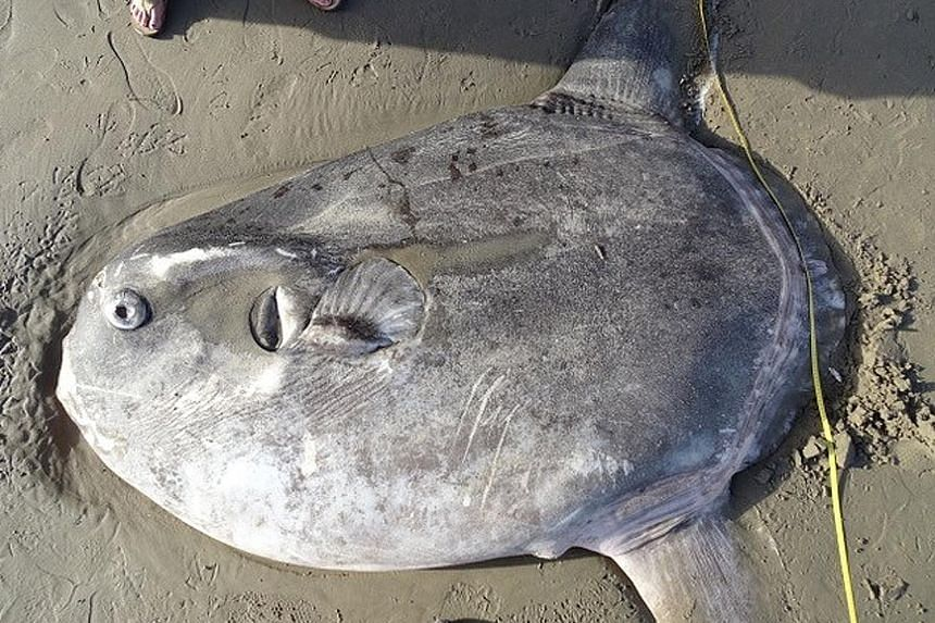 The 2.1m hoodwinker sunfish was found on a southern California beach on Feb 19.
