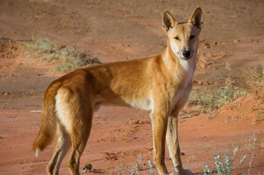 File photo of a dingo. A French mother and son were injured following a dingo attack on World Heritage-listed Fraser Island.