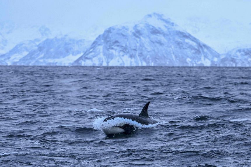An orca chases herrings on Jan 17, 2019, in the Reisafjorden fjord region, near the Norwegian northern city of Tromso in the Arctic Circle.