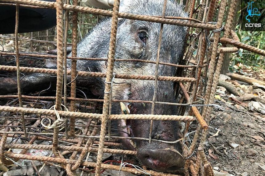 An Acres veterinarian assessed the condition of the boar and noted that it had died from the stress of being trapped in a tight space.