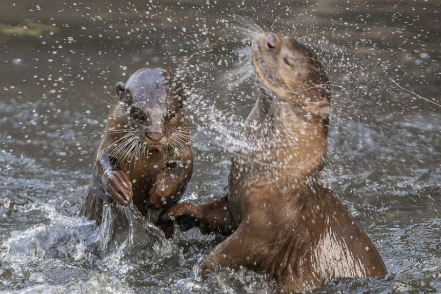 Otters from the Bishan family play-fighting in the Whampoa River on the morning of March 1, 2019.