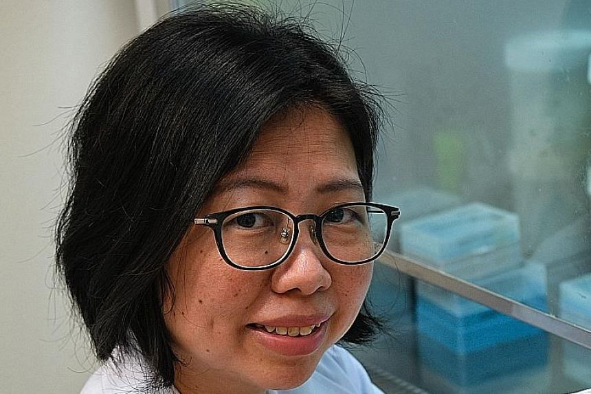 Dr Cheok Chit Fang, principal investigator at A*Star's Institute of Molecular and Cell Biology, was the study's lead researcher. Her team will carry out pre-clinical studies and clinical trials to confirm that Niclosamide is effective and also has fe