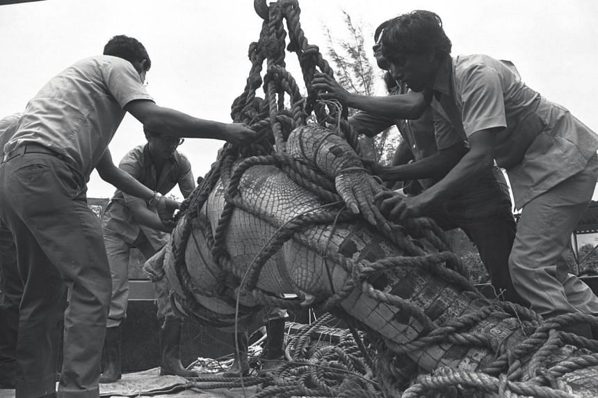 In this photo from October 1974, a 4.8m crocodile is finally bound for removal to the zoo after a two-hour struggle. It was donated to the zoo by a member of the public as it was growing too big to keep as pet.