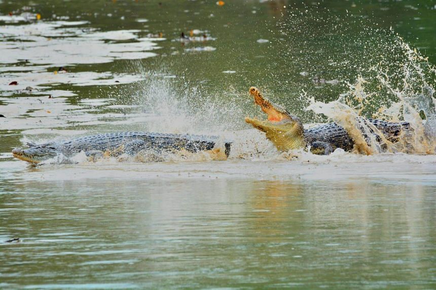 Two estuarine crocodiles spotted at Sungei Buloh Wetland Reserve on May 17, 2015. The animals have been making a comeback since they were declared extinct here in 1996.