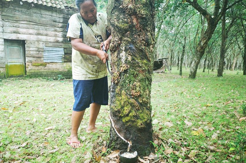 Rubber tapper Samsih Ruslan, from South Sumatra's Ogan Ilir regency, has seen her fortnightly pay halved to about 500,000 rupiah (S$47.50) now since 2014, as the price of natural rubber has fallen. The single mother in her early 50s says the fate of