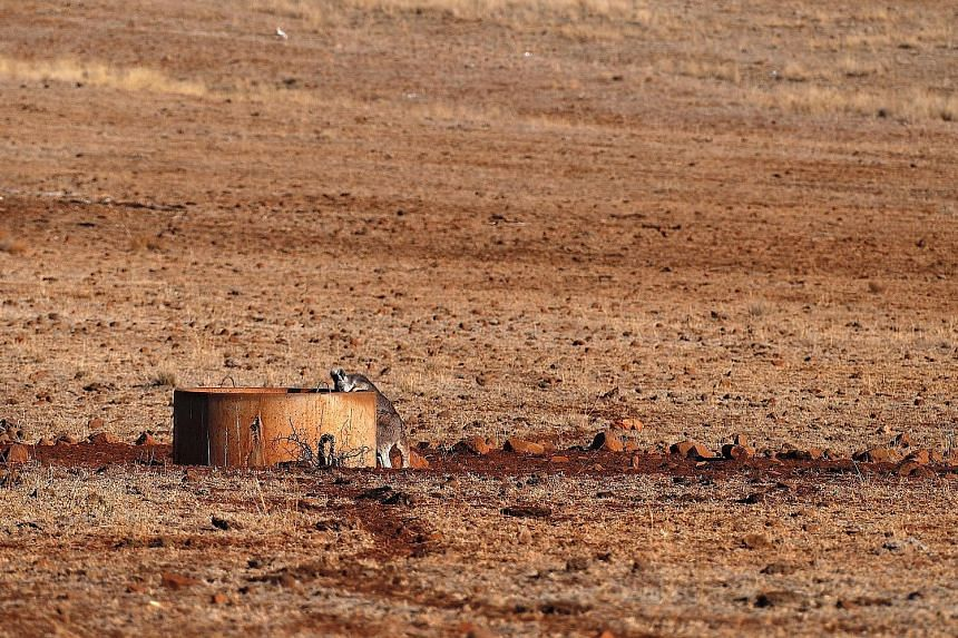 A kangaroo drinking from a water tank in a drought-affected paddock on a farm in north-western New South Wales.