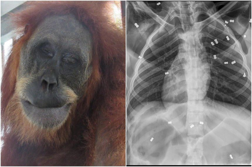 The orangutan, estimated to be 30 years old, was rescued on March 9, 2019, with broken bones, bruises and cuts to her legs.