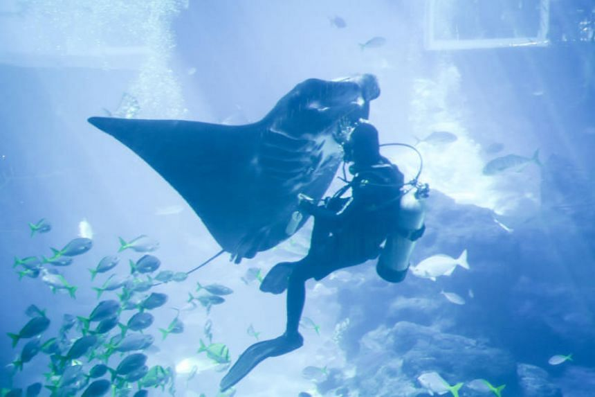 Aquarists will enter the aquarium to feed the manta rays underwater using a syringe placed in their mouths.