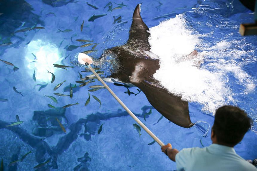 Surface feeding involves food being placed in a ladle attached to a long stick and fed to the mantas at the water's surface.
