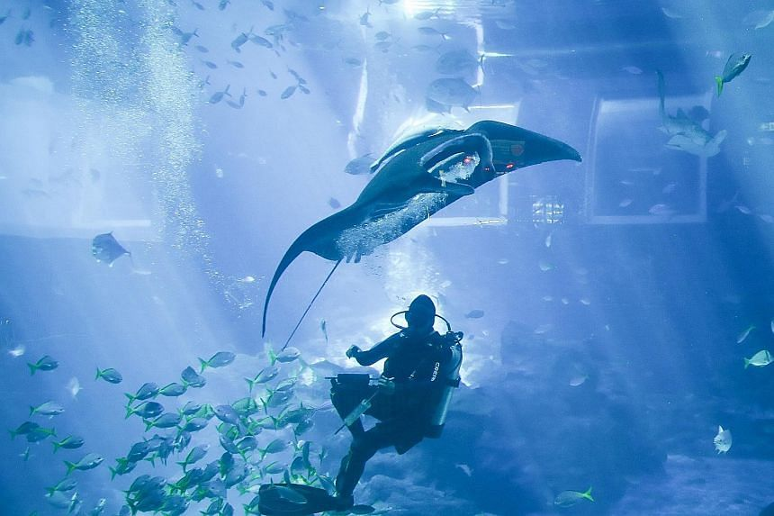 A manta ray at the S.E.A. Aquarium yesterday being fed underwater using a syringe. This new method, instead of surface-feeding, allows staff to get closer to the animals to conduct physical examinations, such as checking for bruises, external parasit