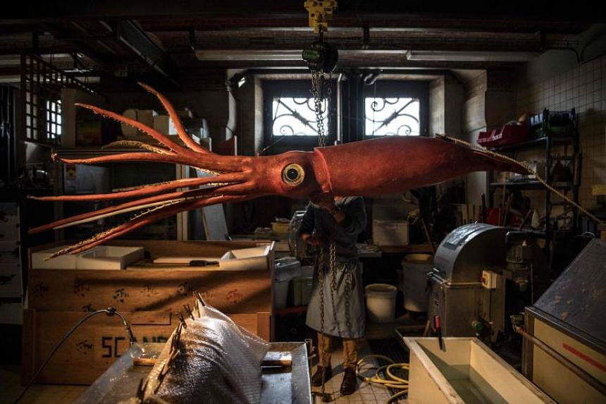 Six metres long - not counting its tentacles - and weighing in at 80 kilos, the squid, nicknamed Wheke, hangs from a workshop during a recent visit, suspended on a pulley.