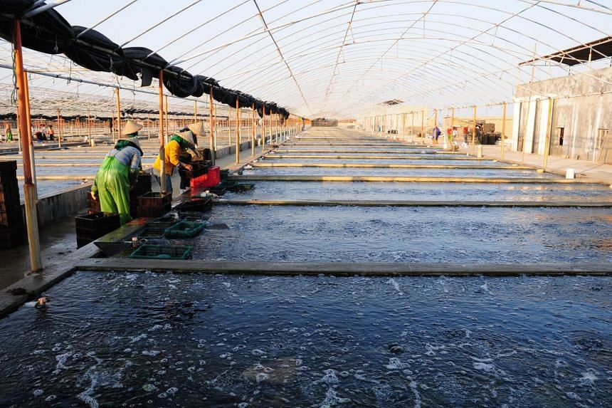 One of Oceanus' land-based abalone farms in China. Oceanus Group said the acquisition is aligned with its business plans to further bolster its marketing capabilities.