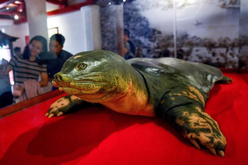 Tourists look at an embalmed giant turtle displayed at Ngoc Son temple in Hanoi on March 21, 2019.