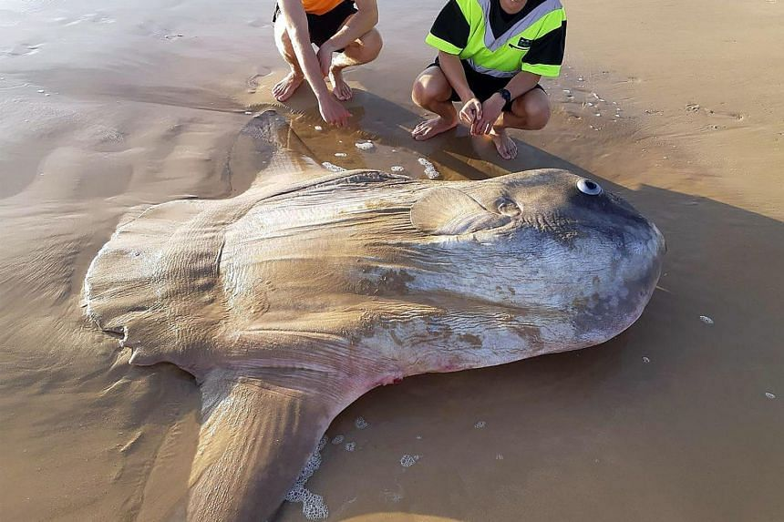 A photo circulating on social media showed two people on a beach standing over the 1.8m specimen, which had died.