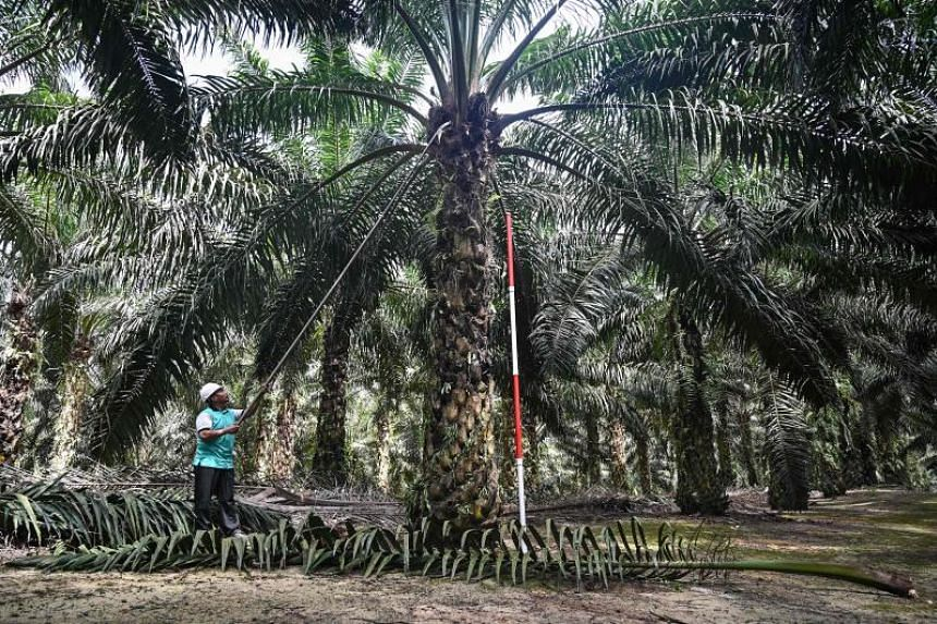A worker trims the leaves of a palm oil tree at the Malaysian Palm Oil Board research station in Bukit Lawiang, southern Johor.
