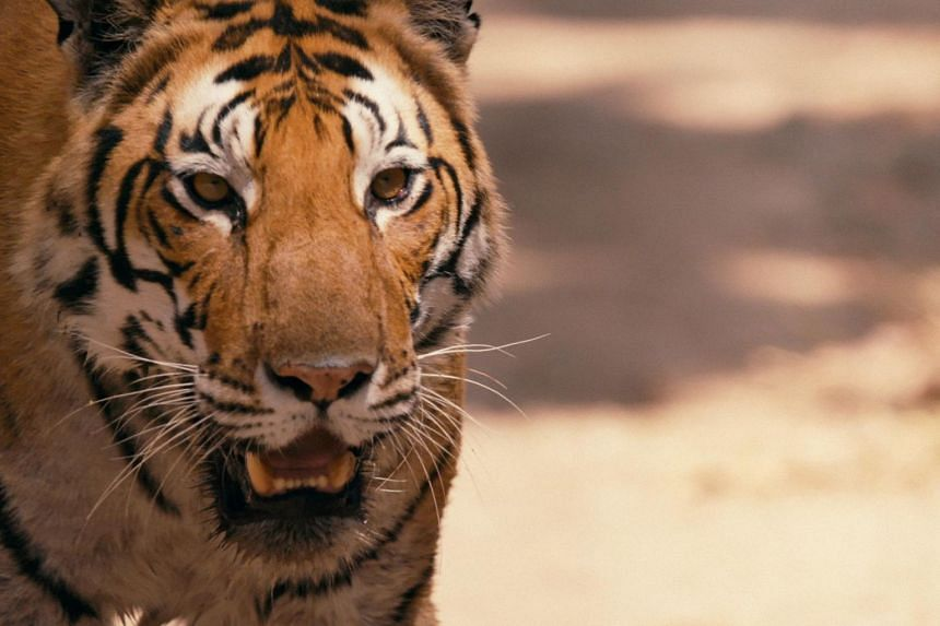 The tiger, while held in awe and is the national animal of India, Bangladesh, South Korea and Malaysia, is generally seen as dangerous and a menace around people.
