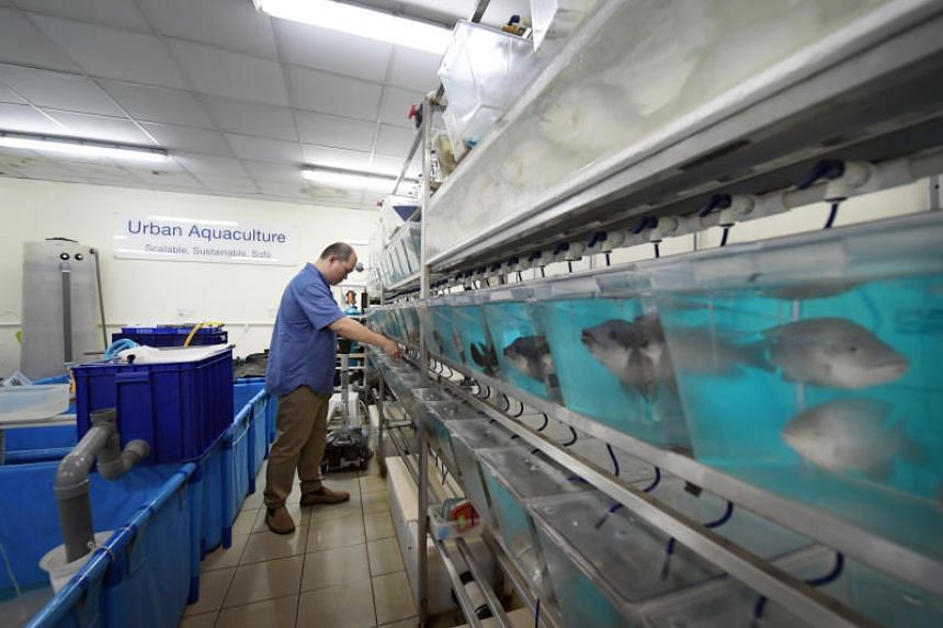 """The """"premium tilapia"""" are disease-resistant and rich in Omega-3, and are being bred in Temasek Life Sciences Laboratory."""