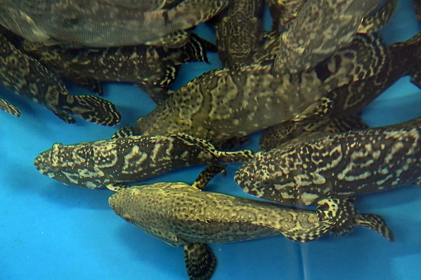 """Pearl grouper (above) bred in Temasek Life Sciences Laboratory. """"Premium tilapia"""", which are fast-growing, disease-resistant and rich in Omega-3, are also being bred in TLL."""