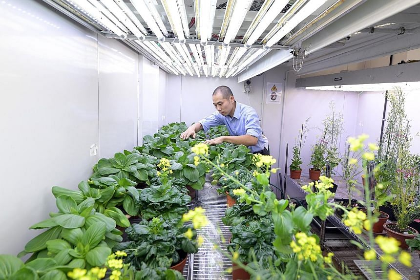 Dr Urano Daisuke, principal investigator at Temasek Life Sciences Laboratory, examining a batch of vegetables. The Singapore-MIT Alliance for Research and Technology is working with Temasek Life Sciences Laboratory to decide on the specific genes for