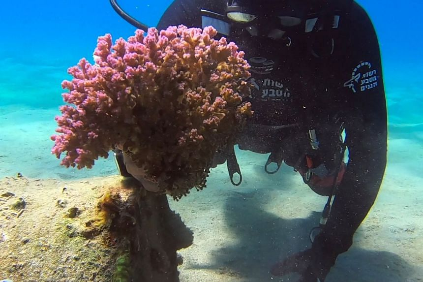 A diver removing coral from industrial debris in the Red Sea.