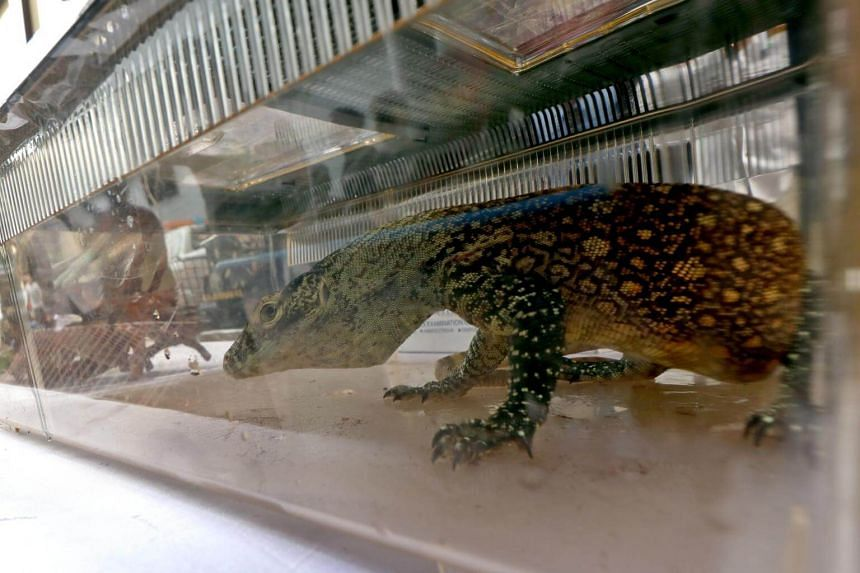 A juvenile komodo dragon seized by police during an anti-smuggling operation is seen inside a cage during a press conference in Surabaya, on March 27, 2019.