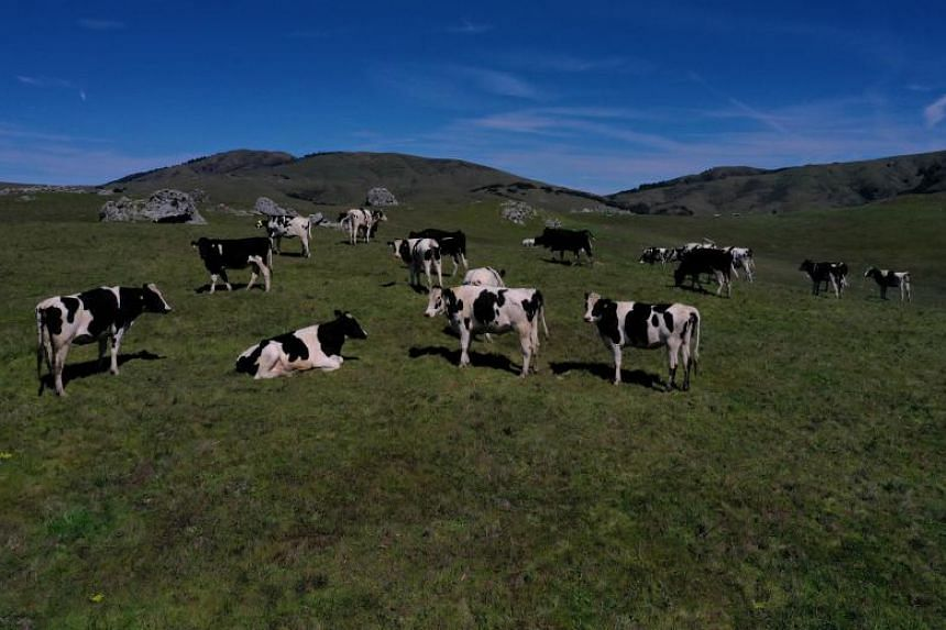The average cow produces releases 15 to 20 litres of urine a day. This produces huge amounts of ammonia in a country like the Netherlands, which is the world's second biggest agricultural exporter after the United States.