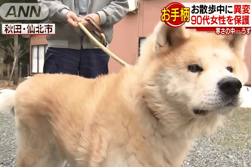 The 12-year-old akita dog, called Mame, found the elderly woman slumped on the road side and alerted its owner. The dog and its owner will be given a certificate of appreciation on April 1, 2019.