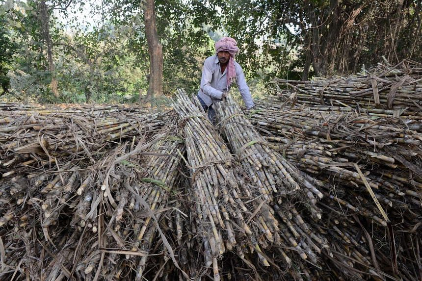 An Indian labourer loading bundles of sugar cane to sell at a nearby market on the outskirts of Ayodhya in northern Uttar Pradesh state.