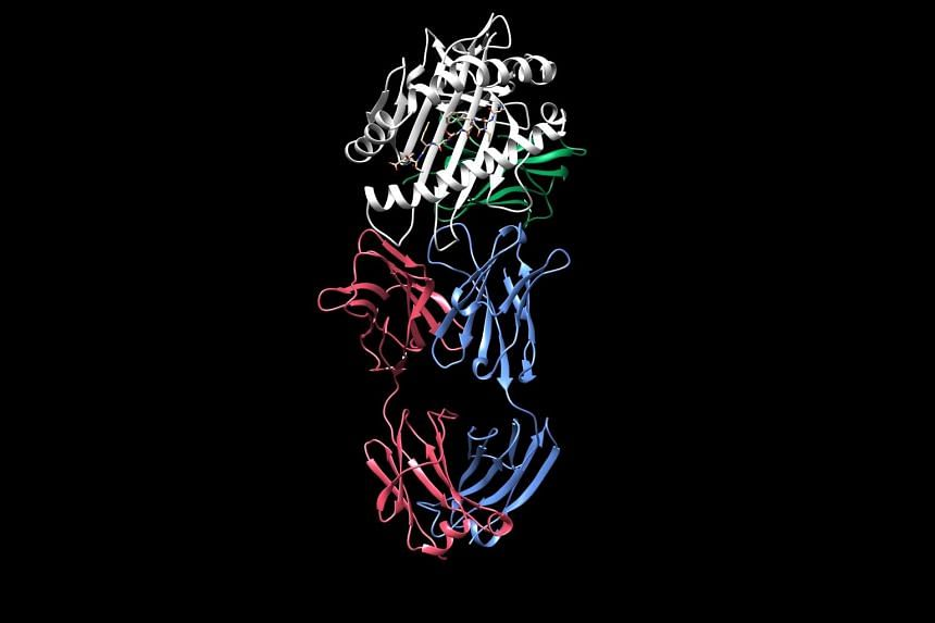 Above: Still images from an animation showing the structure of an HLA protein, which consists of two polypeptide chains shown in white and green. Researchers discovered how an antibody, also consisting of two polypeptide chains shown in red and blue,